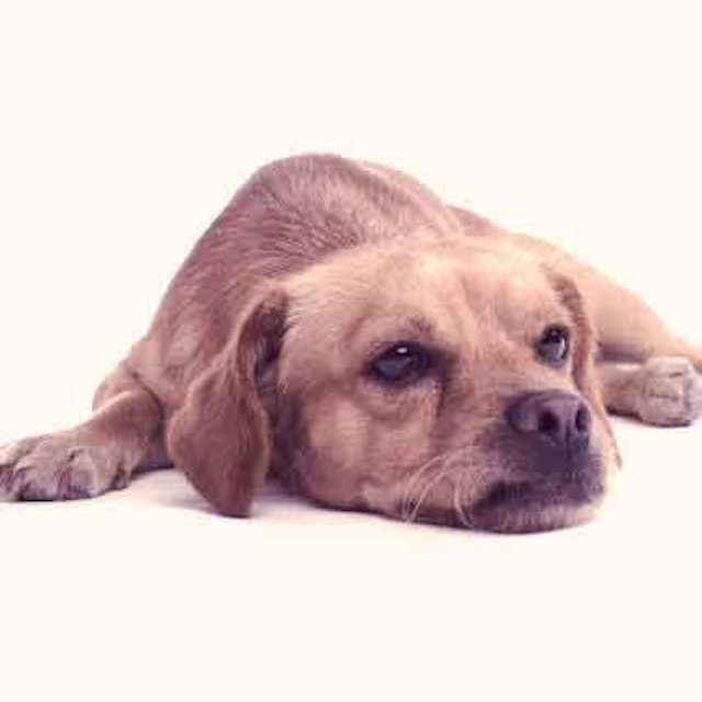 How to Get Rid of Diarrhea in Puppies | PetCareRx