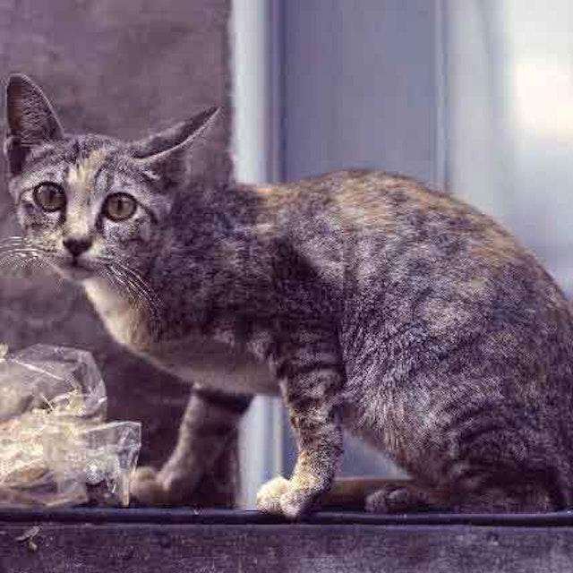 7 Signs of Feline Lymphoma | PetCareRx