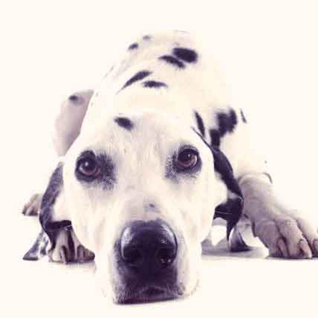 8 Dogs That Don't Bark   PetCareRx