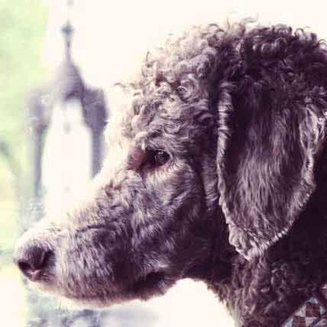 Anxious Poodle Behavior