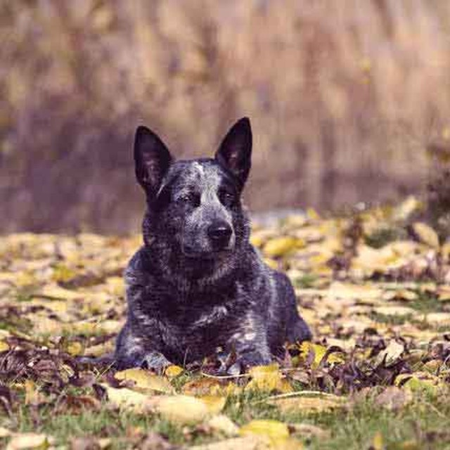 Stop Australian Cattle Dog Nipping and Growling | PetCareRx