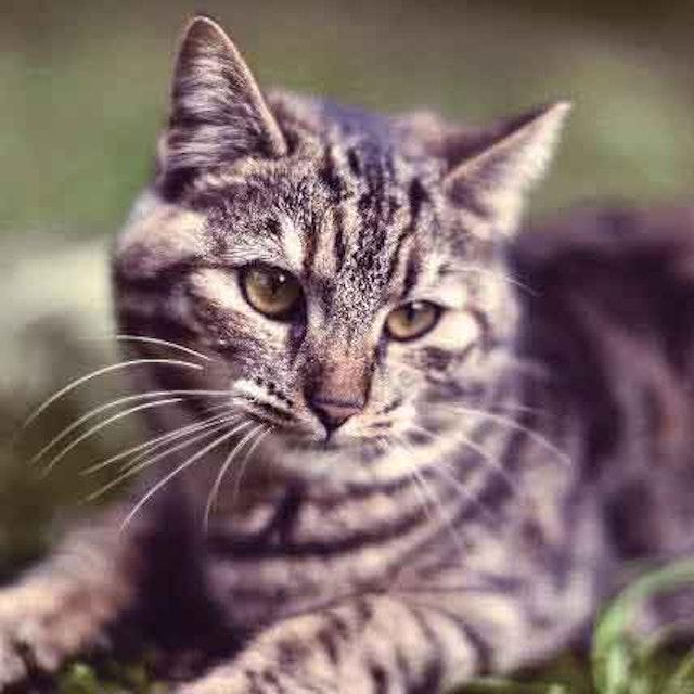 Cat Dandruff Remedies and Solutions | PetCareRx com