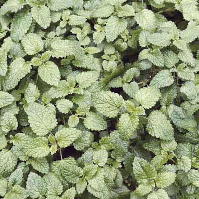 Is Catnip Safe 5 Things You Should Know Petcarerx