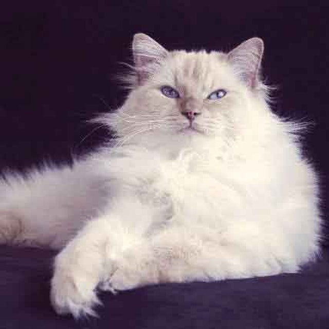 8 Types of Cats with Blue Eyes | PetCareRx