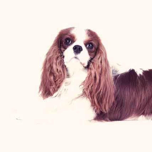 Serving Size Per Day For A Cavalier King Charles Spaniel Petcarerx