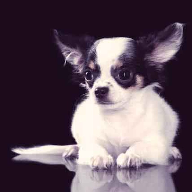 The Chihuahua: ...