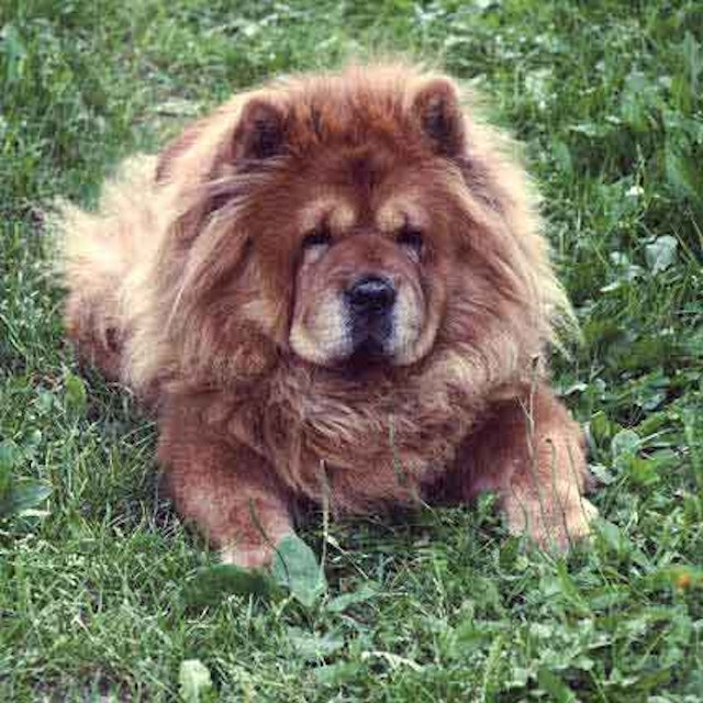 Are Chow Chows Good with Kids? | PetCareRx