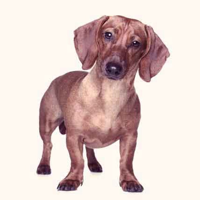 49128a932f4 Dachshund Facts Dachshunds were bred in Germany as far back as the 16th  century to hunt badgers to ground and to go into badgers' tunnels after  them.