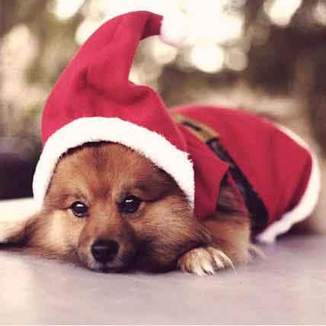 - 5 Dog Christmas Outfits For The Howl-iday Season PetCareRx