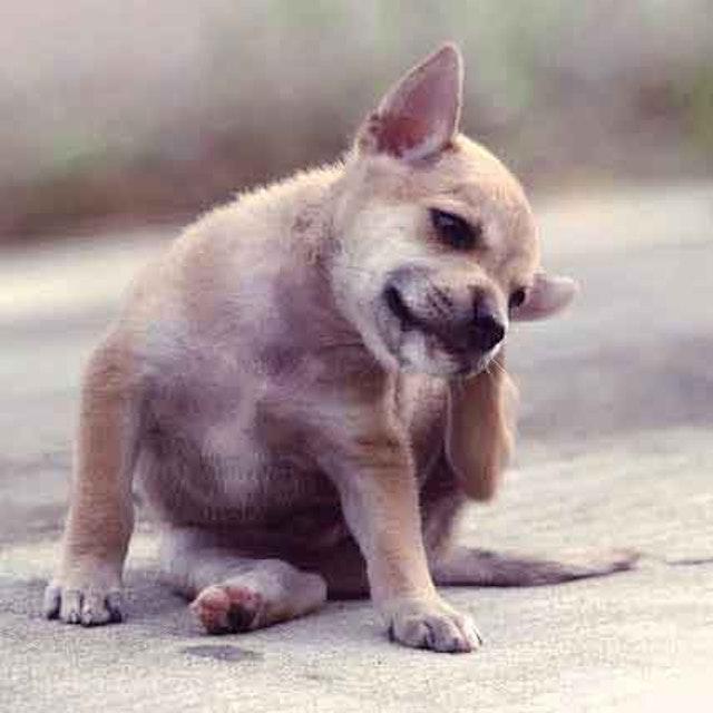 Got Dog Fleas? Here's What You Should Do | PetCareRx