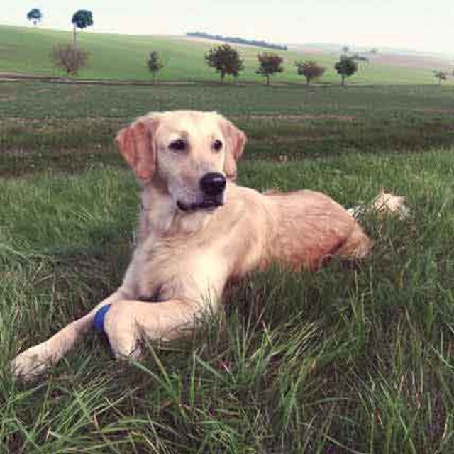 Pregnant Dog Symptoms Petcarerx