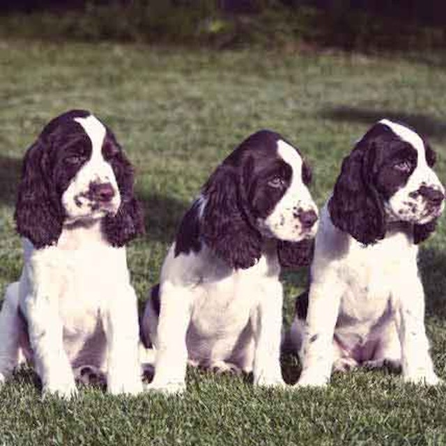 How Much Do English Springer Spaniels Shed? | PetCareRx