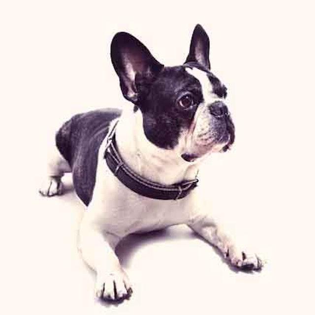 English Bulldog Care and Training Facts   PetCareRx