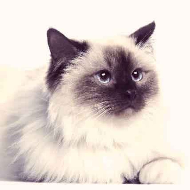 The Most Common Cat Breeds | PetCareRx