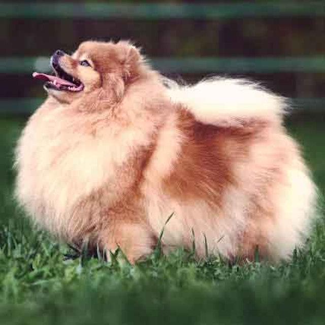 Fluffy Dog Breeds Petcarerx