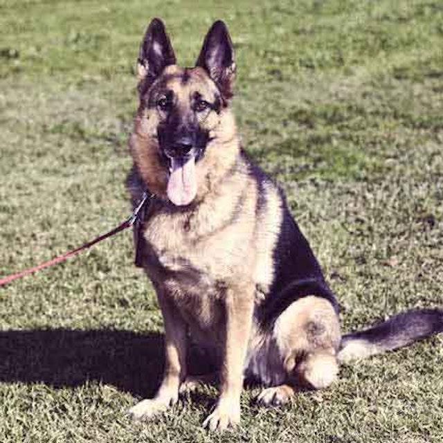 How to Train a German Shepherd to Be a Guard Dog   PetCareRx