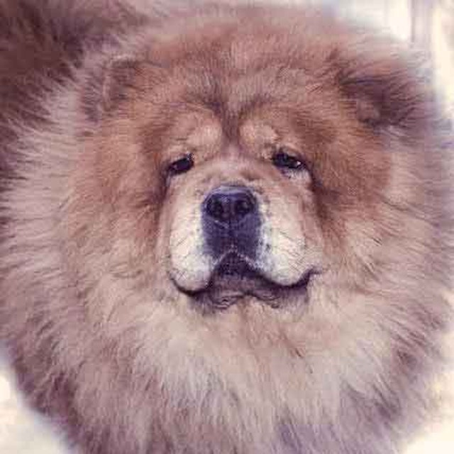 Grooming a Chow Chow to Look Like a Lion | PetCareRx