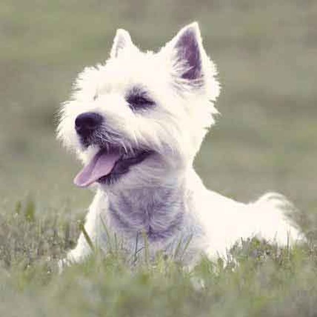 How to Train a West Highland White Terrier (Westie) | PetCareRx