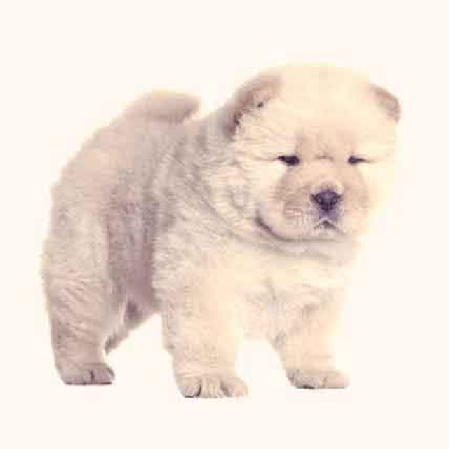 Are Chow Chows Good With Kids Petcarerx
