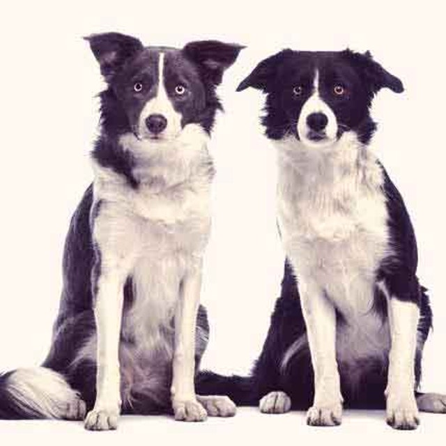 Ivermectin for Dogs: Collie Intolerance | PetCareRx