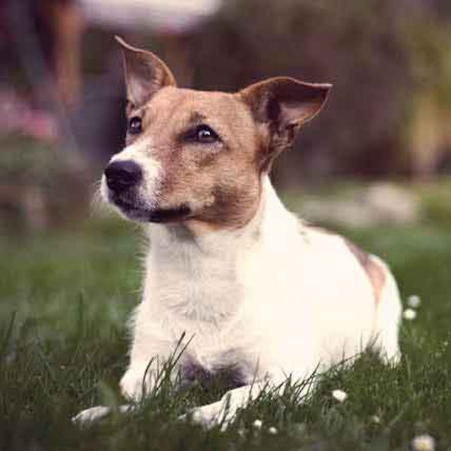 The Diets For Jack Russel Terriers Petcarerx