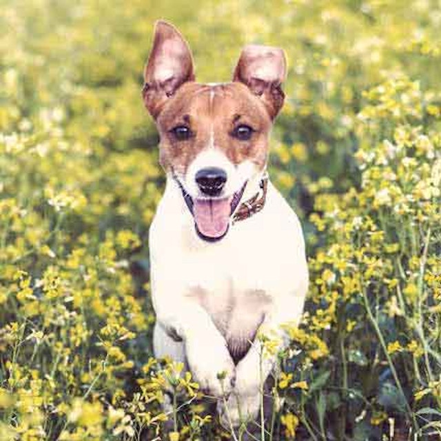 The Diets for Jack Russel Terriers | PetCareRx
