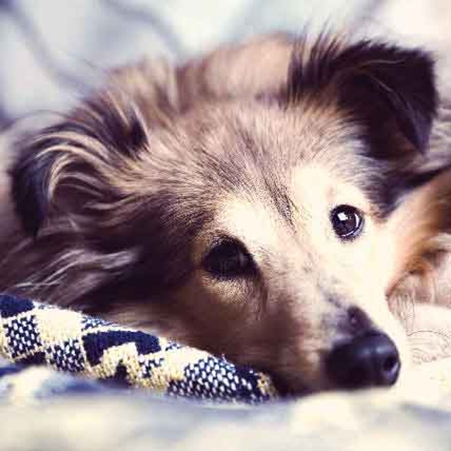 Low Red Blood Cell Count in Dogs: Causes of Anemia | PetCareRx