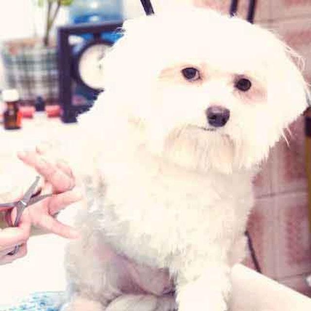 Characteristics of a Maltese Dog | PetCareRx