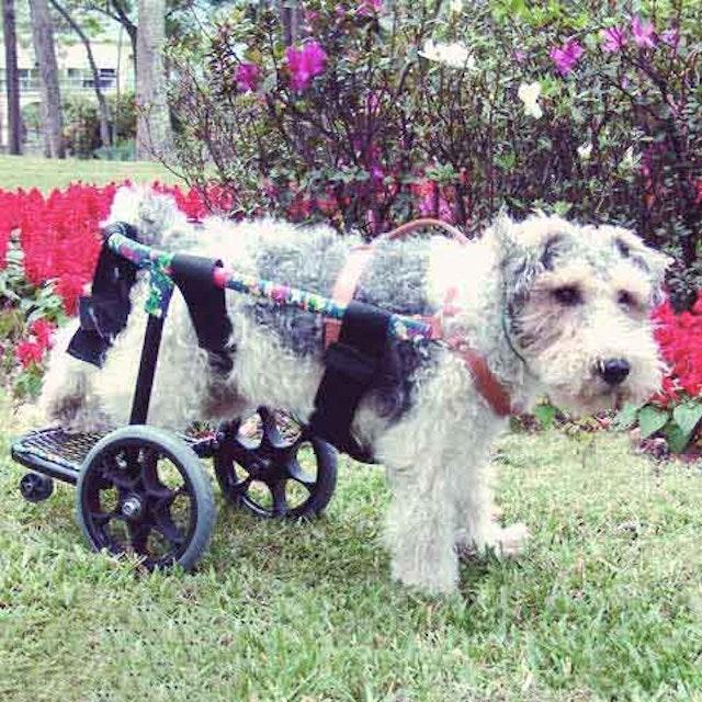 How To Care For A Paralyzed Dog | PetCareRx