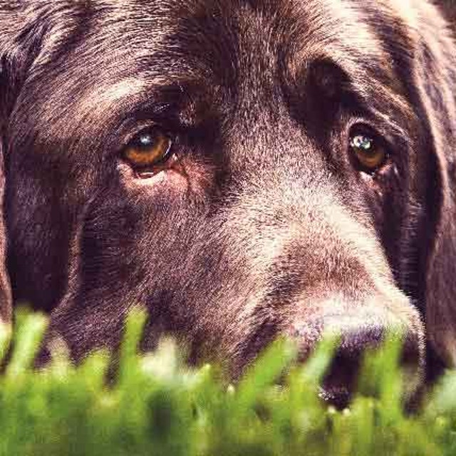 The Basics of Nuclear Sclerosis in Dogs | PetCareRx