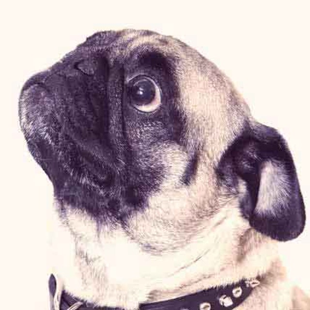 Obedience and House Training for Your Pug | PetCareRx