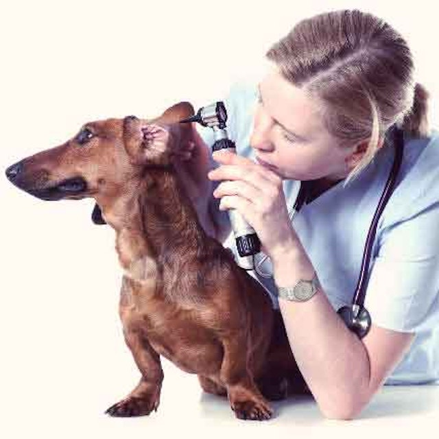 Treat Your Cat's or Dog's Ear Infection | PetCareRx