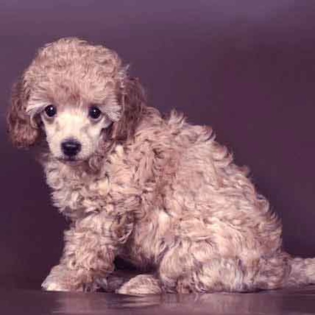 Poodle Diet Food | PetCareRx