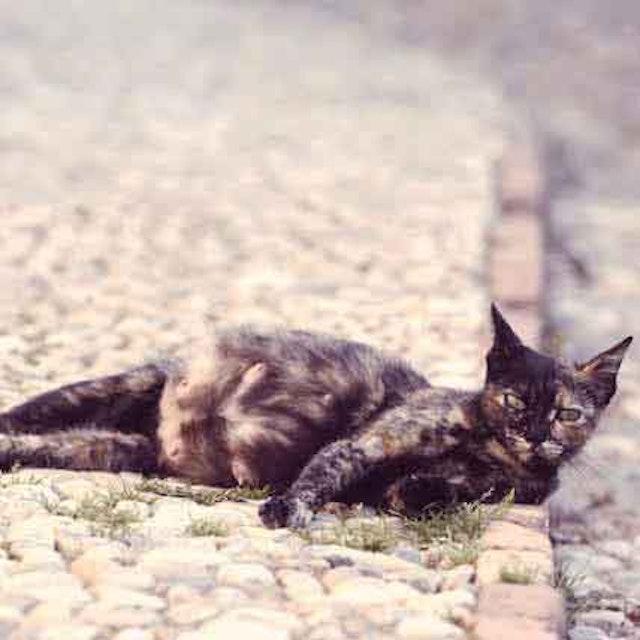 Pregnant Cat Symptoms Petcarerx