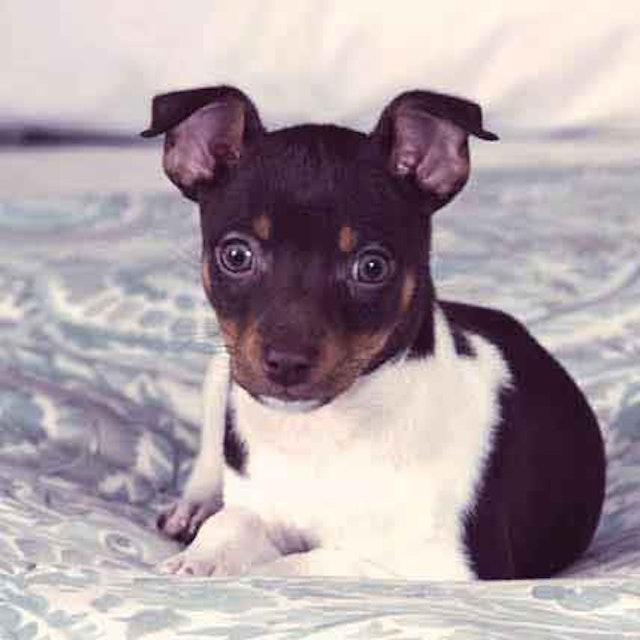 Characteristics of Rat Terrier Dogs | PetCareRx