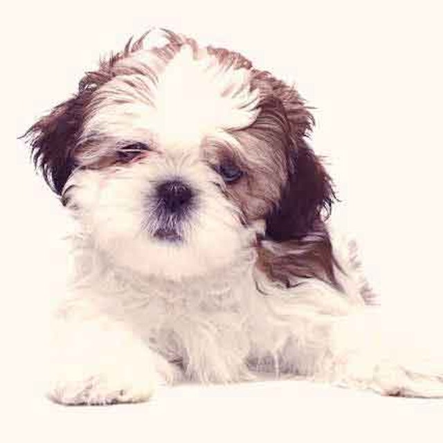 Raw Food Diet For A Shih Tzu Petcarerx