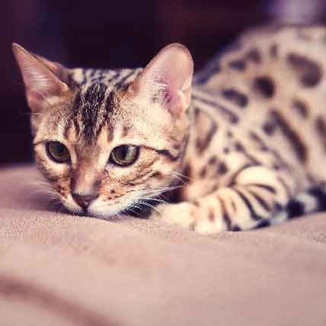 Steps To Manage Inflammatory Bowel Disease In Cats | PetCareRx