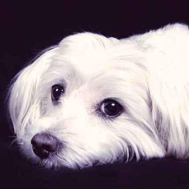 Cataracts Symptoms In Dogs Petcarerx