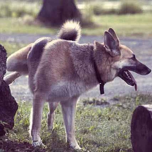 Dog UTI Treatment - Antibiotics, Diet, Herbal Remedies