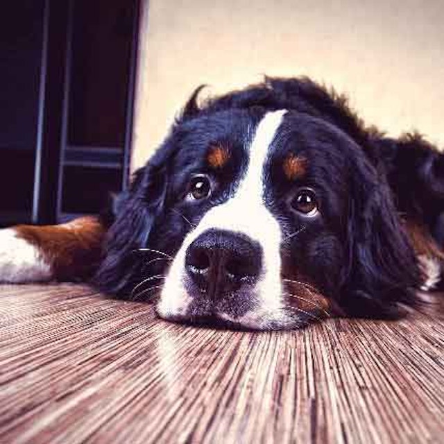 Thyroid Problems In Dogs A Guide To Hypothyroidism Petcarerx