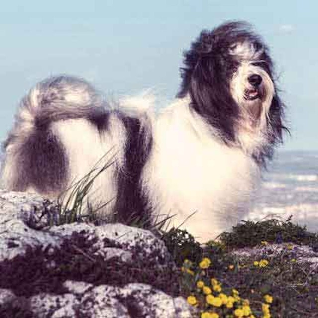 How to Treat Heartworm in Dogs - Kill Adult Heartworms
