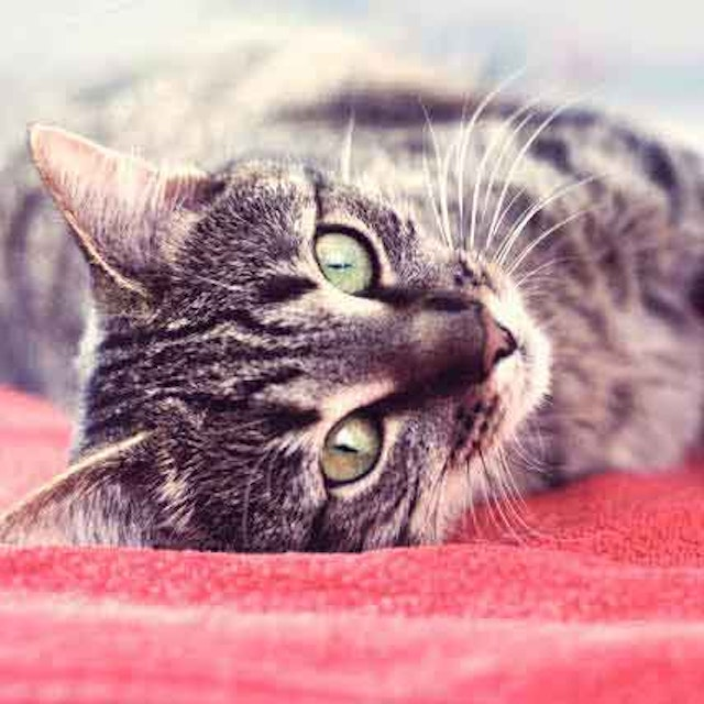 Ear Mites in Cats and Dogs   PetCareRx