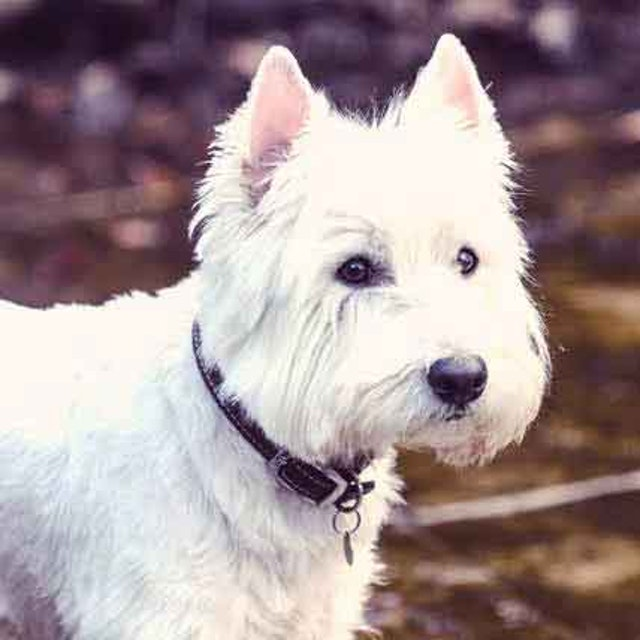 What Do I Feed a West Highland White Terrier? | PetCareRx
