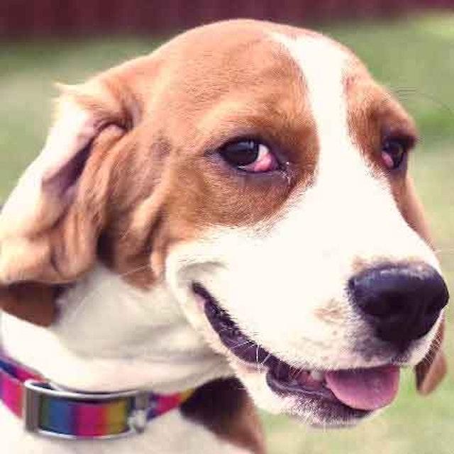 Distichiasis In Dogs Cats Petcarerx