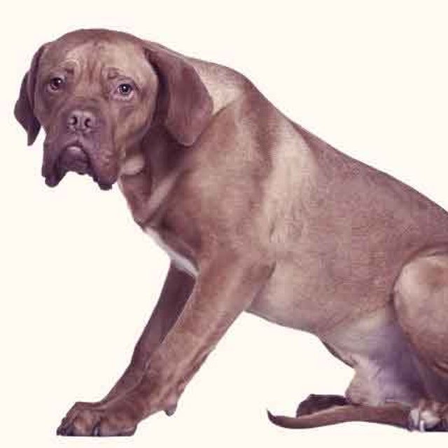 Causes of Low White Blood Cell Count in Dogs   PetCareRx