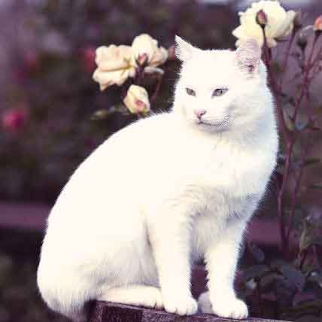 Why Are Some White Cats Deaf 5 Things You Didn T Know Petcarerx