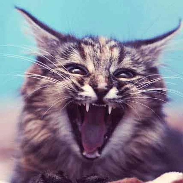 Six Reasons You Might Have A Talkative Cat   PetCareRx