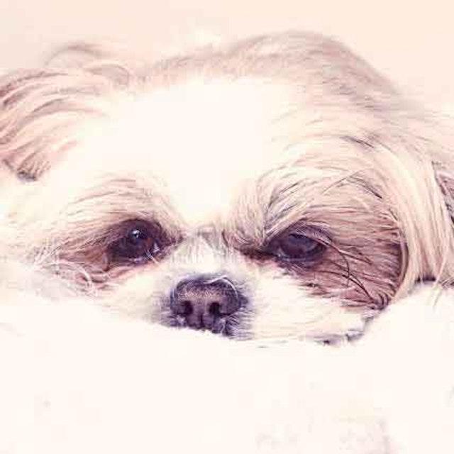 Kennel Cough Symptoms and Treatment | PetCareRx