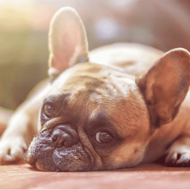 Dog Skin Tags Causes And Treatment Petcarerx