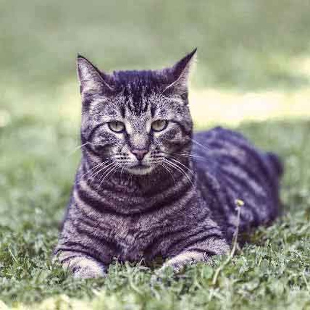 Striped And Tabby Cat Breeds And Types Petcarerx